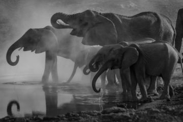 Herd of elephants, elephant facts,