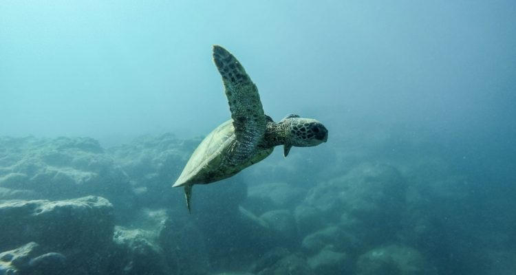 Sea Turtle threatened by ocean acidification