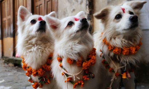 Kukur Tihar A Festival to honor dogs-group of dogs