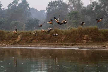 birds flying over Rapti river in Chitwan national park